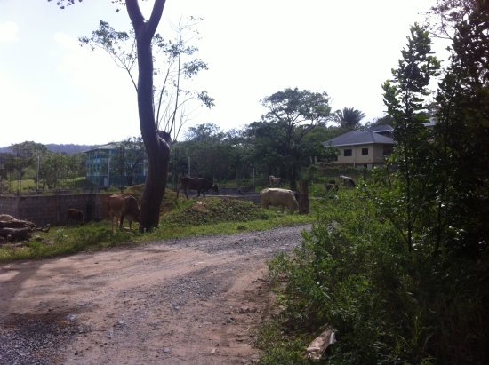 Roatan_neighborhood_cows