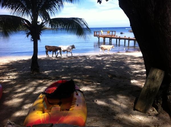 Even the cows want to spend Semana Santa on the beach!